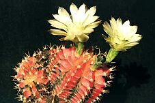 Gymnocalycium michanovichii